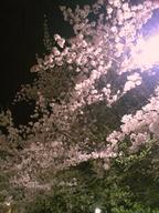 Sakura_kinjyo_090405