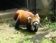 lesser_panda1