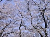 Sakura_university